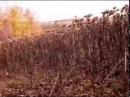 Охота с лайкой на кабана в подсолнухе