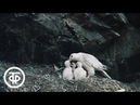 В объективе - животные. В поисках белого кречета (1987)