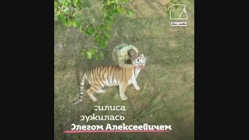 Тигрица Василиса выкормила множество тигрят, от которых отказались их мамы
