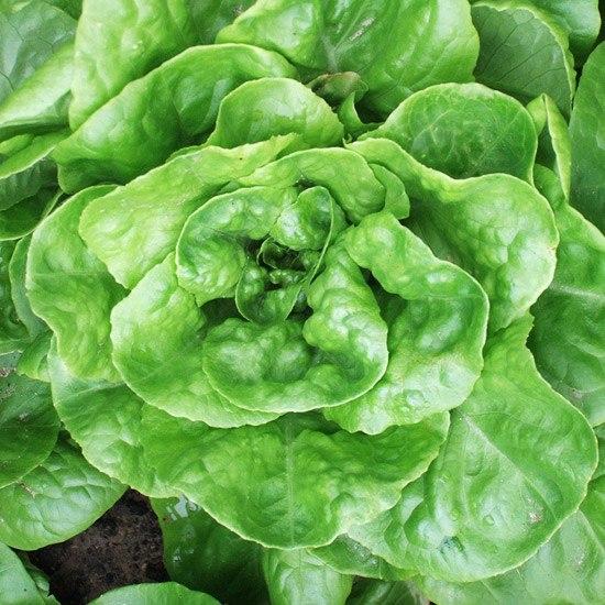 Салат-один из первых овощей вашего огорода