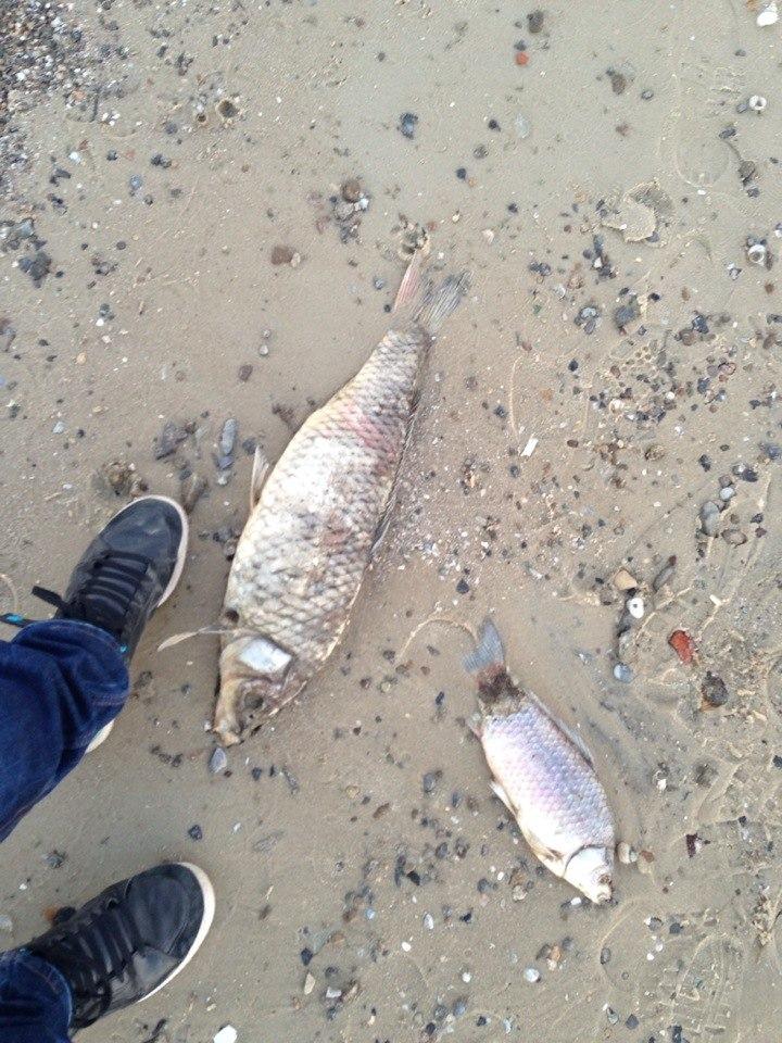 массовая гибель рыбы в Таганроге