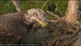 AEF NEFL Eagle Cam 11-8-18 Immature Eagle Visits Nest &amp Enjoys a Fish!