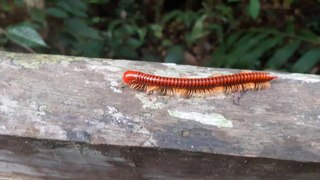 Millipede Hypnosis · #coub, #коуб