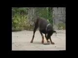 ПРИКОЛ! Доберман катается на камне! FUN! Doberman riding on a rock!