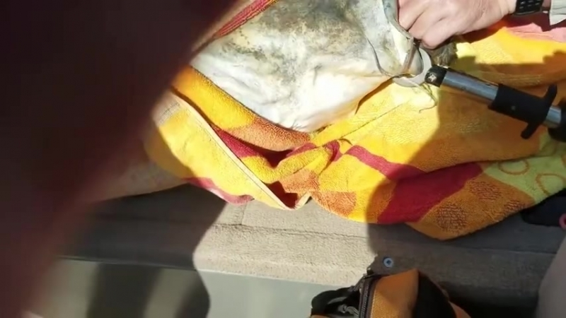 Спасение сома пытавшегося проглотить черепаху Видео прикол