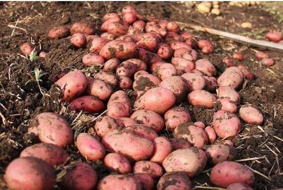 Ранний картофель в июне Хочу рассказать, как я выращиваю ранний картофель. Условий хранить картошку (у некоторых холодные погреба) у нас нет. Картофель лежит в подвале дома, где понастроены