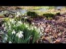 Видео со вчерашней прогулки в лесу Настояший ковер из подснежников