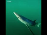 Заплыв с синей акулой
