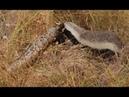 Snake Killers - Honey Badgers Nature Documentary