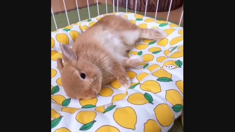 Lemon flops in his lemon bed! 🍋