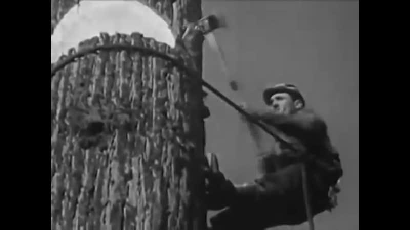 Рубка гигантских секвой