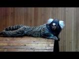 Смешные обезьянки. Белоухая игрунка. Funny monkey. White-eared marmoset.