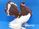 В мире животных Голуби турманы