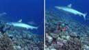 Нападение акулы на дайвера