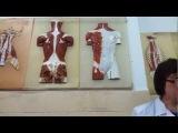 Мышцы груди. Мышцы живота. Мышцы спины. Анатомия. Урок 2