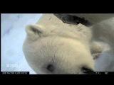 Жизнь во льдах: видео, снятое белым медведем