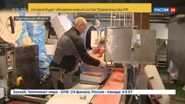 Новости на Россия 24 В Мурманске рыбаки все чаще выбирают ловлю креветок вместо рыбы