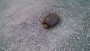 GTA 5 wasted Snapping Turtle Attacks