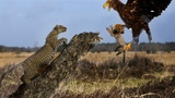 Leopard Knock Eagle Out to Save Baby Fails - Cheetah Lions Jaguar Leopard Powerful Big Cat in Africa