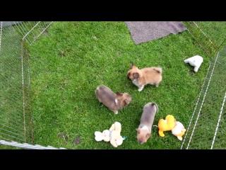чихуахуа, мальчик д/ш, девочка к/ш, девочка д/ш, щенкам 2 месяца