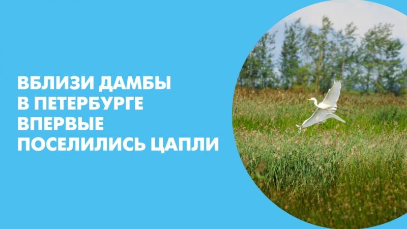 Вблизи дамбы в Петербурге впервые поселились цапли