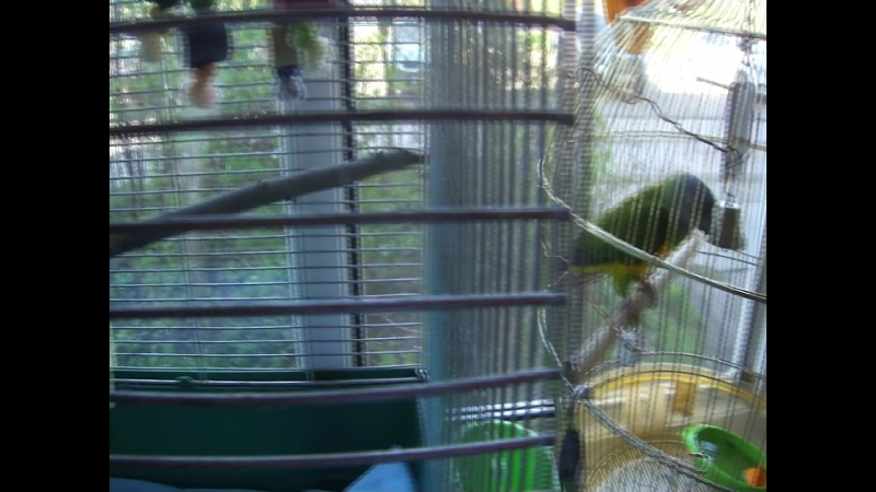 Мои птички Синегал Митя и 2 карелла Семечка и Кеша