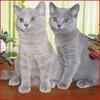 Британские кошки - продажа котят