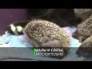 Мама Муся- кошка усыновила восьмерых ёжиков-сирот.mp4