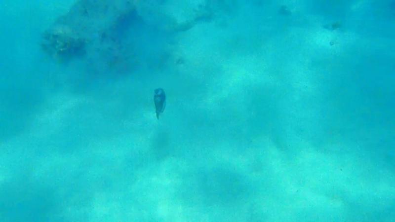 Коротко о рыбке Пикассо. Маафуши. Мальдивы