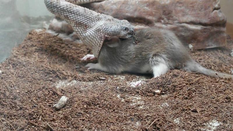 Live Speckled Rattlesnake feeding (Crotalus Mitchellii). DON'T BLINK!