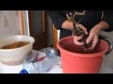 Часть 2 Виноград Прививка настольная. Подготовка