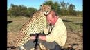 Rubbing Cheeks w/ African Cheetah | 3 Things Male BIG CATS Love | Females Food Fun (Bonding)
