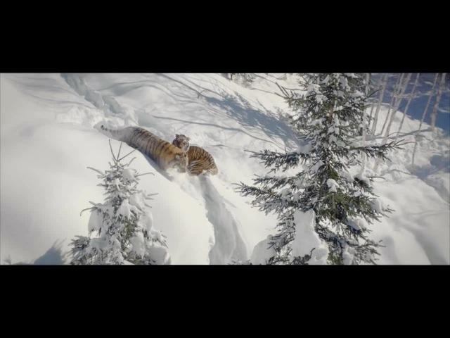 Tigers vs drone
