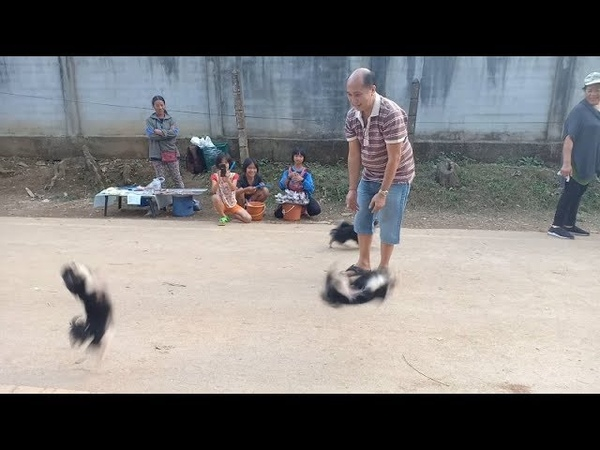 Chihuahua Puppies Filmed Doing Backflips