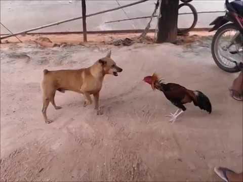 ไก่เก่ง รัตนบุรี ตีกับหมา