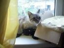 моя цейлонская кошка poroda koshek zabota scscscrp