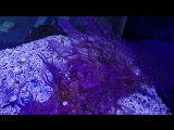 #Rhinopias_frondosa Скорпена рыба GoPro - Аквариум-Маврикий