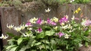 Bulb Log video diary supplement Erythronium in small plunge