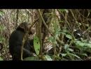 BBC Жизнь - Life (2009) 10. Приматы