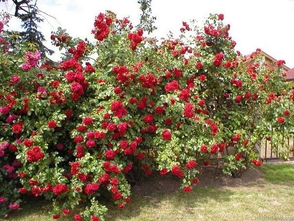 плетистая роза. советы по уходу. особое восхищение у садоводов всегда вызывала плетистая роза с ее длинными ветвями, усыпанными роскошными цветками. это настоящая находка для ландшафтного