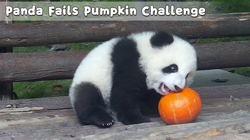 Panda fails Pumpkin Challenge iPanda
