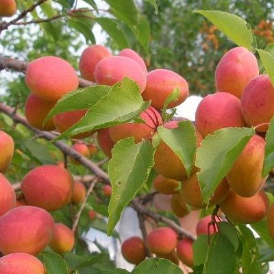 Выращивание абрикосов в сибири 741