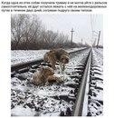 Пёс не бросил свою раненую подругу на железных путях и двое суток лежал рядом с ней…