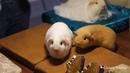 Выставка морских свинок Праздник Грызунов в рамках Зоошоу. Питомник Золотко