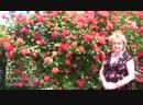 Формируем плетистую розу Дачники