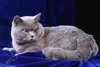 Порода кошек британец фото - Практическая схемотехника.