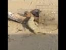 Серый варан атакует хищную птицу