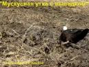 Мускусная утка с выводком