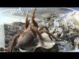 [Paradise for SPIDERS] ASMR/АСМР Spider : ЗВУКИ ПАУКА (СТРИДУЛЯЦИЯ, УКУСЫ, БОЙ ЛАПАМИ) Pelinobius muticus