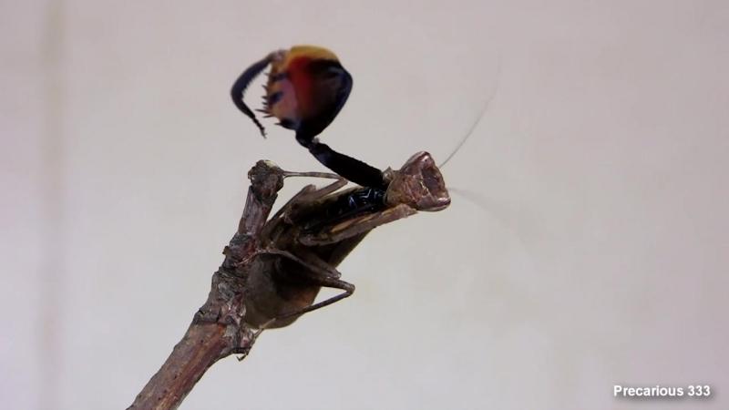 Boxer Mantis Mating Dance